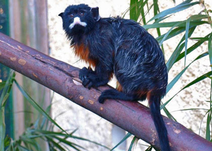 White Lipped Tamarin