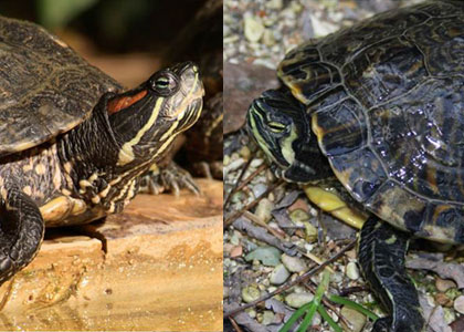 Red Eared Slider and Yellow Bellied Slider